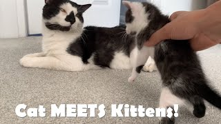 Baby kittens MEET their Cat DAD for First Time!  Funny Reaction!
