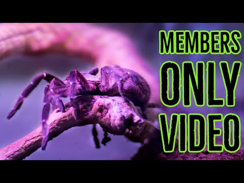 TARANTULA ROOM TOUR - Exclusive MEMBERS ONLY Video Made Public!