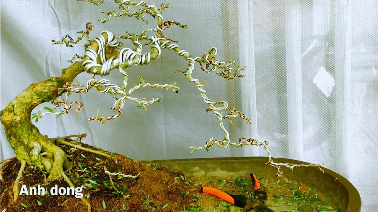 Uốn cây linh sam làm tiểu cảnh bonsai