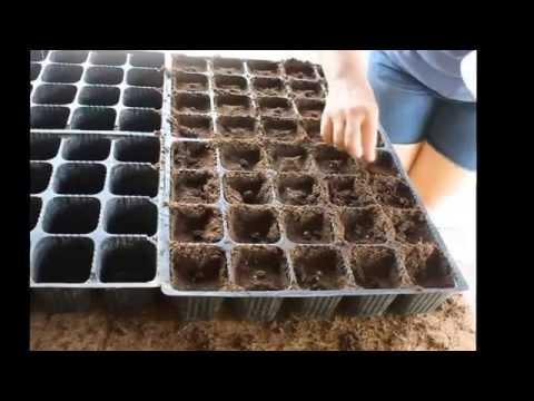 Как высадить семена помидоров для теплицы
