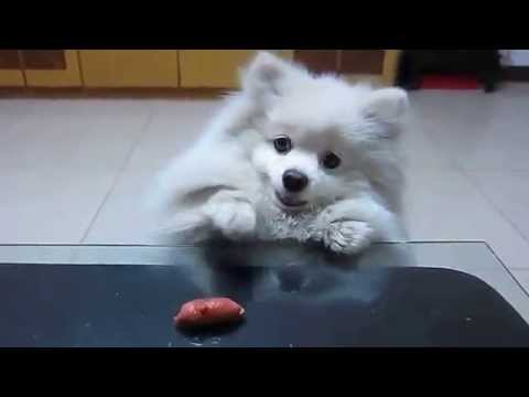 Spitz-Dog vs Sausage