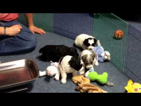 Chloe schnoodle puppies 5-17-16