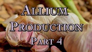 Allium Production Part 4