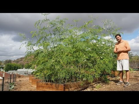 Growing Moringa: Intensive Moringa Cultivation - 6 Month Update