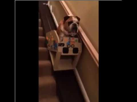 Hank the Bulldog and His Custom Stair Lift - YouTube