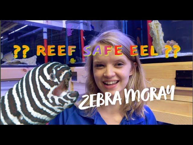 ARE Zebra MORAY EELS Reef safe????