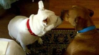 Pet Adoption: Adorable Bull Dog Staffie Needs Good Family