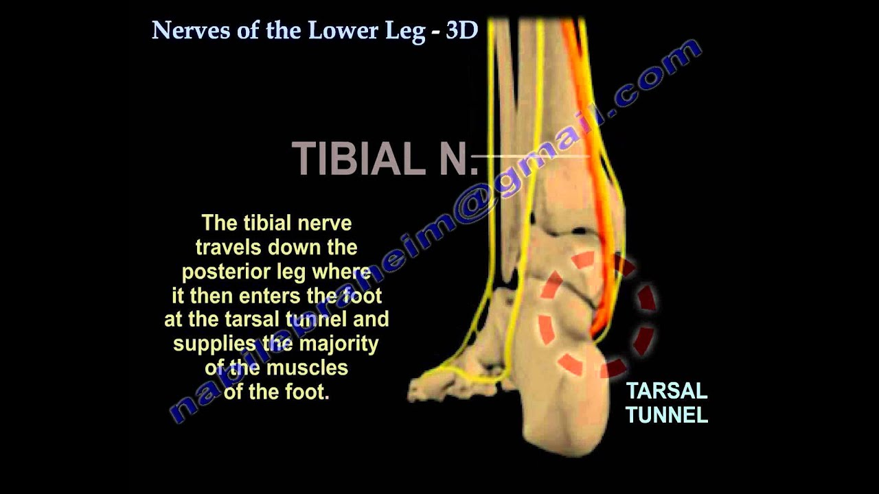 Nerves Of The Lower Leg 3D - Everything You Need To Know - Dr. Nabil ...