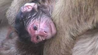 Baby Monkey: Newborn Barbary Ape Opens Its Eyes.