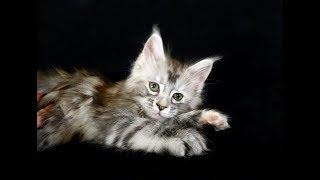 Сколько нянек нужно, что бы уложить спать одного котенка?