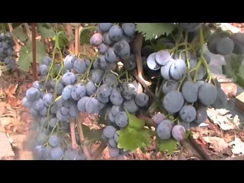 Сорт винограда Черный Ворон - сезон 2015