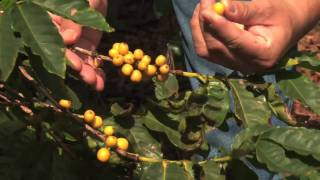 Coffee Tours at Kauai Coffee Farm - KVIC-TV, myKauai.com [Activity] [Tour]