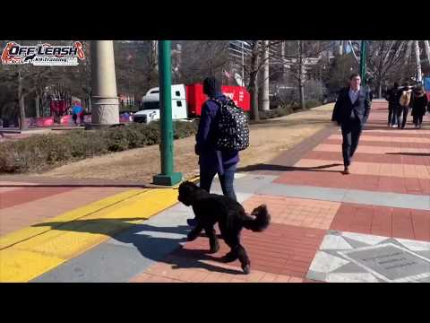 """11 Month Old Portuguese Water Dog """"Jax"""" Before/After Video 