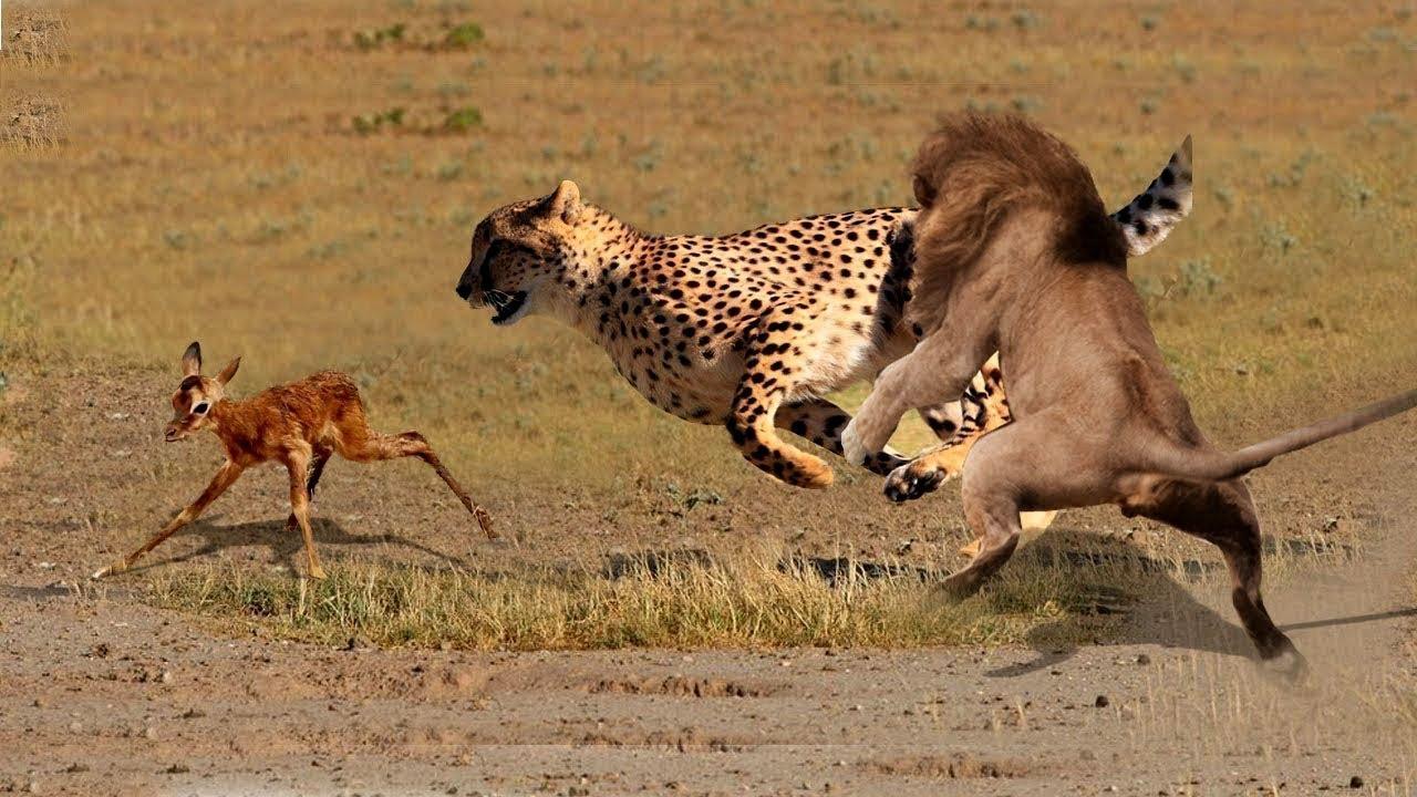 Aslan, Yavru Ceylanı Leopardan Kurtarıyor . İzlenilecek Bir Video..