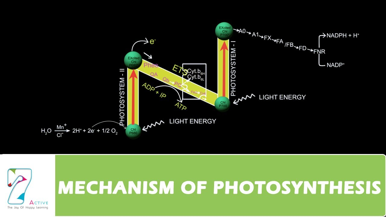 Photosynthesis Z Scheme Diagram Xs650 Chopper Wiring Mechanism Of Part 03 Youtube