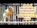 Seremm Abis Kenari Af Gacor Panjang Bagus Untuk Pancingan Kenari Bunyi  Mp3 - Mp4 Download