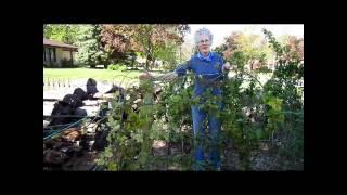 Raspberry Patch - Wisconsin Garden Video Blog 270.avi
