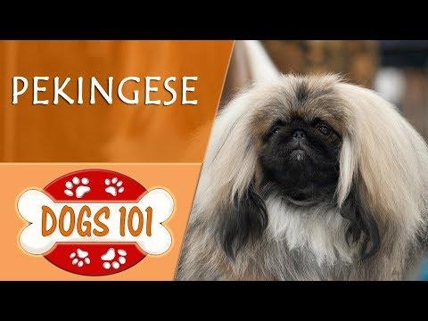 Dogs 101 - PEKINGESE - Top Dog Facts About the PEKINGESE
