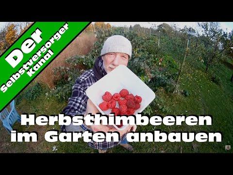 Herbst   Himbeeren im Garten anbauen