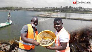 West Africa's Biggest Shrimp Farm(2000 Acres) In Ghana