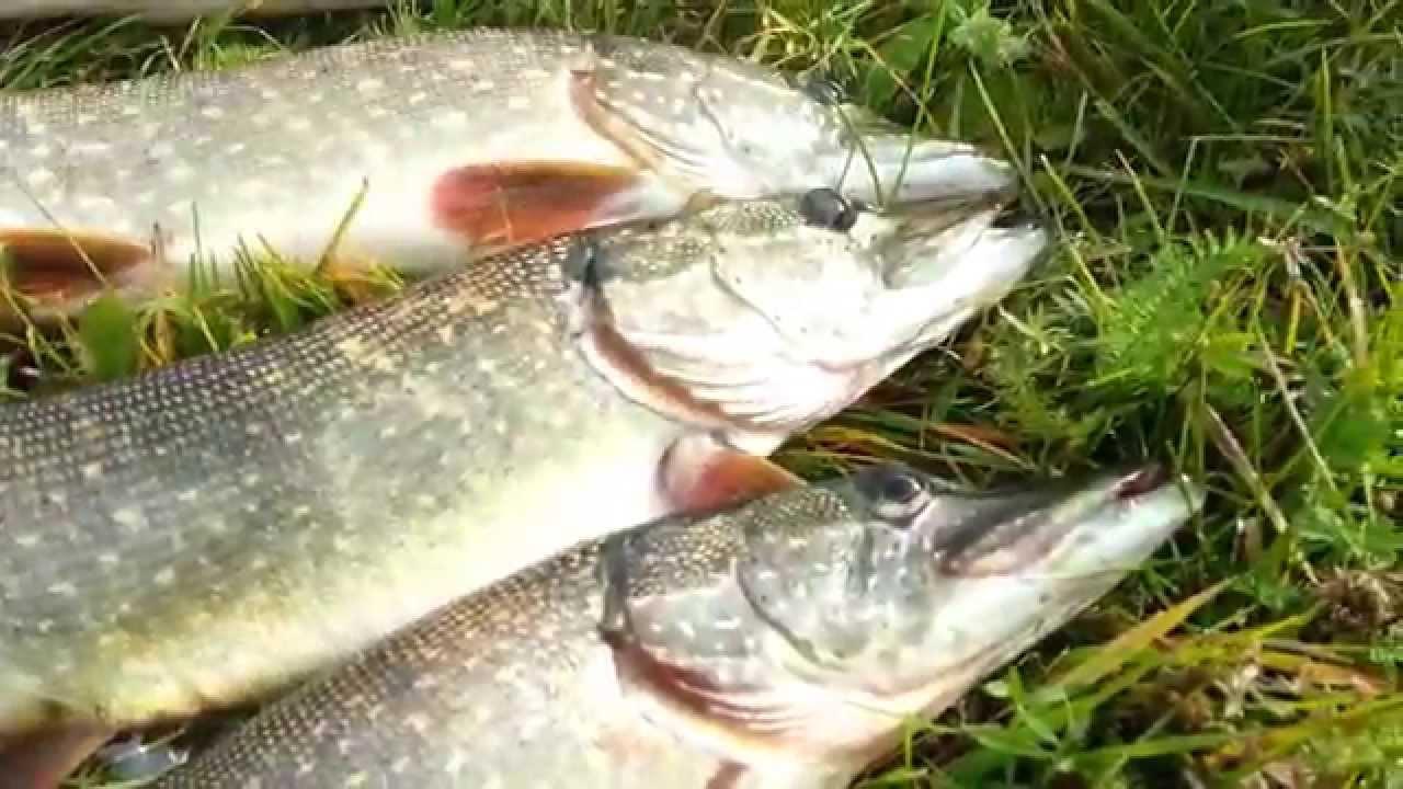 четыре рыбака за 4 дня поймали 4 щуки сколько щук поймали за 8