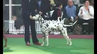 Dalmatian  - Multi Ch. Spotnik's Dare Devil