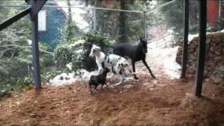 Chihuahua Mix Corrects Great Dane Puppy