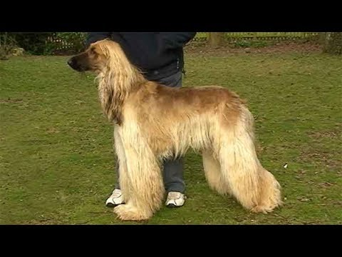Dog Breed Video: Afghan Hound