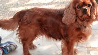 Cavalier King Charles For Sale In Pa