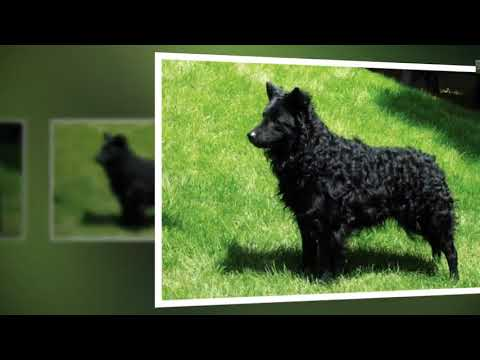 Top 10 Unique Dog Breeds You May Never Come Across - Best News Animals