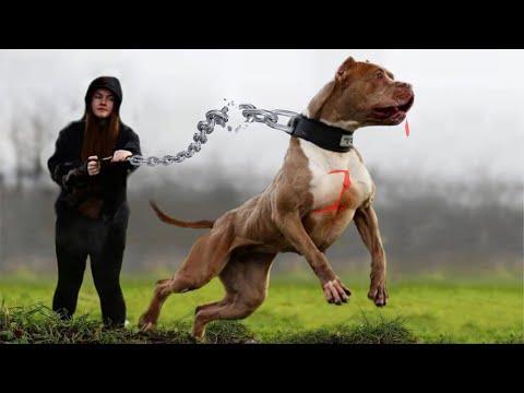 दुनिया-में-सबसे-खतरनाक-कुत्ते-की-नस्लें-हैं-तो-देखलो-most-dangerous-dog-breeds-in-the-world