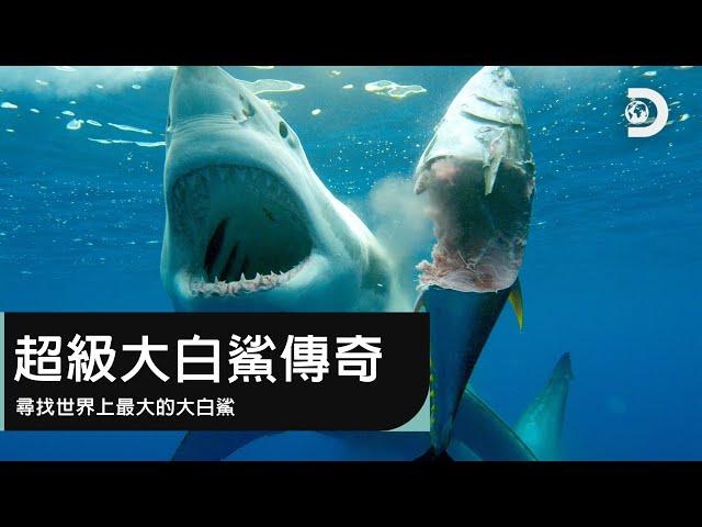 尋找世界上最大的大白鯊-《鯊魚週2019》超級大白鯊傳奇