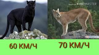Чёрная пантера против пумы. Black Panther against Puma. Животные.
