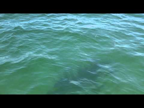 Great White Sharks Tagged off Chatham