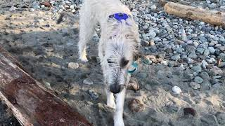20210316 wolfhound visits Spanish Banks  this time in sunny weather