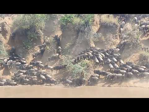 The Great wildbeest Migration 2017 Crossing Mara river.