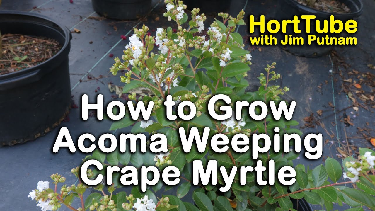 How To Grow Acoma Crape Myrtle Weeping White Flowering