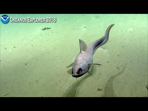 Okeanos Explorer Video Bite  Rattail Fish Gets Up And Close With The ROV Camera