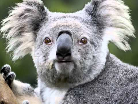 Koala Bear High Time - YouTube