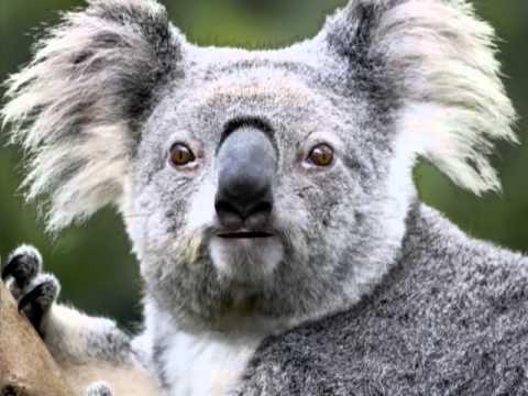 Koala Bear High Time - YouTube