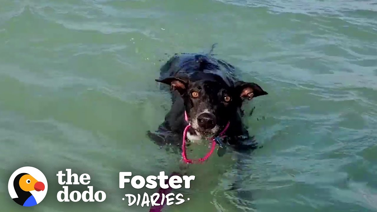 Nervous Rescue Greyhound Falls In Love With The World | The Dodo Foster Diaries