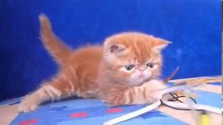 Котята экзоты продажа