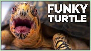 meet-the-new-adorable-box-turtle