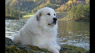 Пиренейская горная собака - Описание