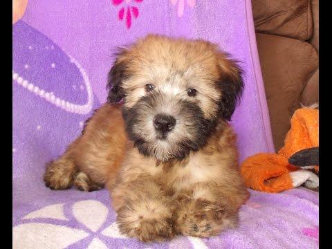Madison, A Wheaten Terrier Puppy Celebritypups.com
