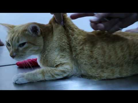 how-to-give-insulin-injection-to-a-diabetic-cat