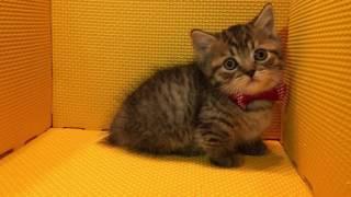 さくら工房のマンチカン 全国優良ブリーダーの子猫紹介サイト『みんなの...