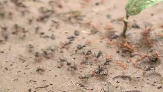 Army ants face off against the leafcutters