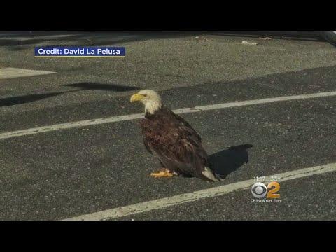Bald Eagle In Bayonne
