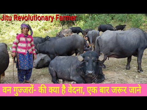 👍VAN Gujjar (वन गुज्जर) -Their Traditional knowledge, Livestock and Hardships.👍